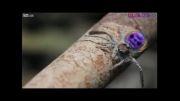 عنکبوت پیکاک یا عنکبوت طاووسی
