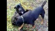 سگ روتوایلر و سگ کن کورسو