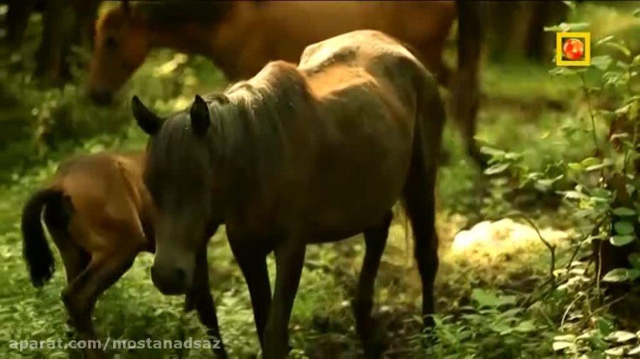 جنگل گیسوم و اسب های زیبا و شگفت انگیز ایران!