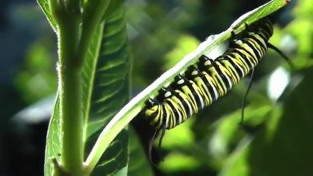 تبدیل کرم به یک پروانه