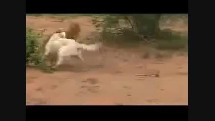 شكست پلنگ از سگ كانگال
