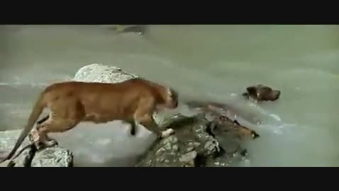 جدال بچه خرس و شیر...
