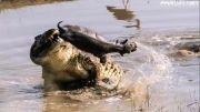 خوردن اسب آبی توسط کروکودیل (بچه اسب آبی)