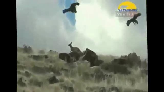 عقاب سلاطان جنگل و کوهها و دریاها(ببینید)