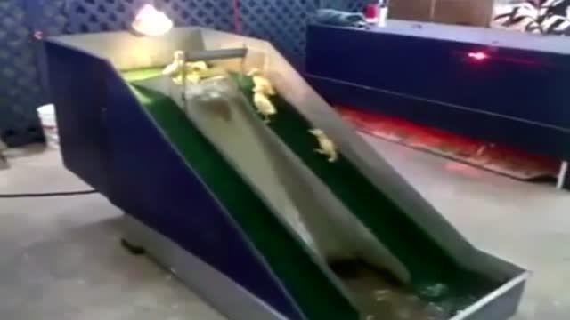 سرسره بازی اردکها