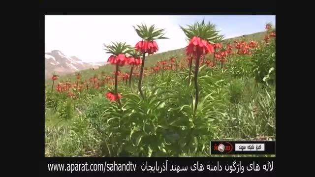لاله های واژگون دامنه های سهند در آذربایجان شرقی