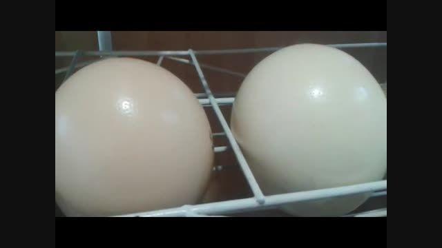 تخم نطفه دار شترمرغ - پرورش شترمرغ