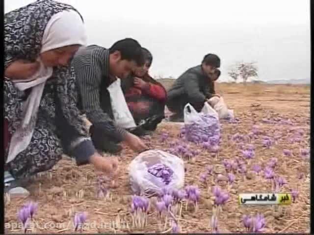 شهرستان بهاباد بزرگترین تولید کننده زعفران در استان یزد
