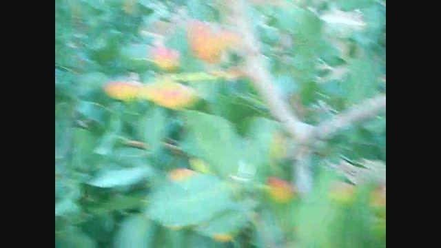 باغ های پسته روستای نریمانی.باغ 2