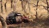 ( شیر ) زنده خوردن شکار