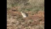 شکار خرگوش