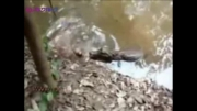 برق مارماهی تمساح را خشک کرد
