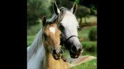 زیبا ترین اسب های دنیا(ارزش دیدن =100%)