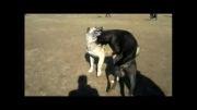 جنگ سگ گوی (سگ احمد قره) و سیاه سگ حصاری در هزار چیمنی