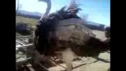 رقص شترمرغ در مزرعه پرورش شتر مرغ جاوید در مراغه