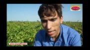 افزایش بهره وری سیب زمینی در خاک با PH بالا