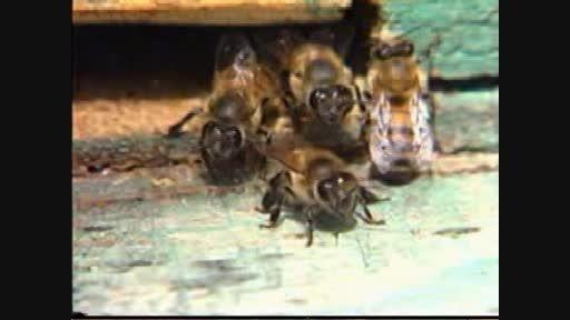 مستند ملکه زنبور عسل و امام زمان عج -- عجب مقایسه ای