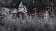 شکار لک لک توسط کاراکال