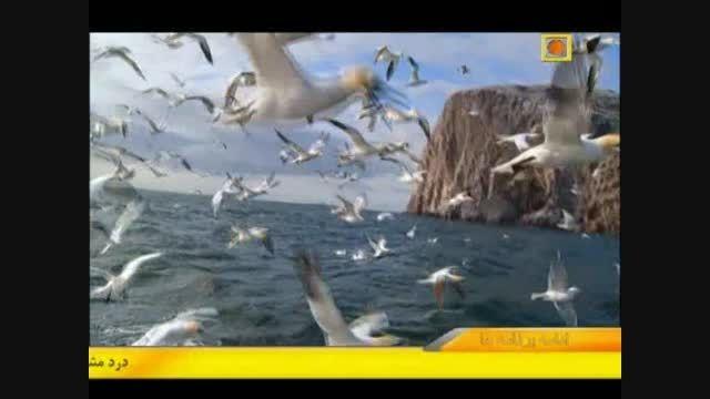 شکار ماهی ها توسط مرغ های دریایی