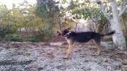 گرگی سگ ژرمن شپرد من