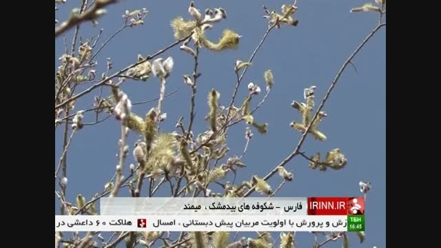 شکوفه های بید مشک