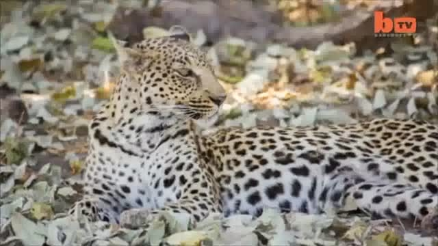 هفت حمله برتر پلنگ از روی درخت