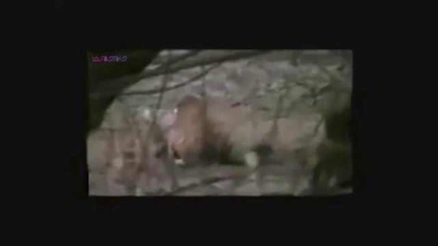 ببر تمساح را کشت و خورد+حمله نبرد درگیری+فیلم ویدیو