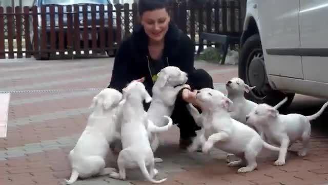توله سگهای دوست داشتنی از نژاد دوگو آرژانتینو