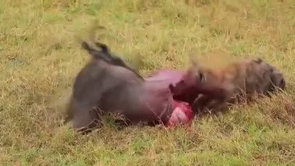زنده خوردن شکار