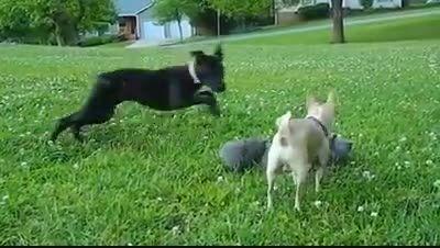 دفاع سگ کوچولو ازبچه گربه ها درمقابل سگ بزرگ سیاه