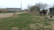 اسب کهر فروشی دو ساله