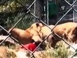 حمله شیر در باغ وحش