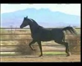 اسب- اسب سواری-تعزیه-سوارکار-اسب کرد-اسب عرب-اسب اصیل-اسب دره شویی-