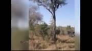 نبرد دیدنی پلنگ روی درخت