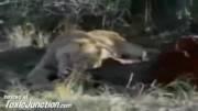 حمله مرگبار شیر به عکاس در باغ وحش (ویدئو کامل)