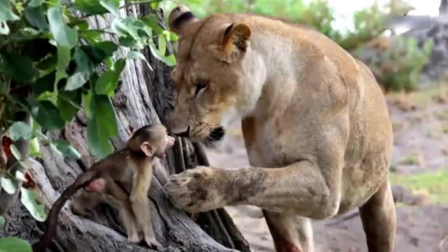 ترحم شیر به بچه میمون
