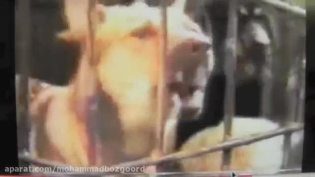 کندن پوست حیوانات زنده بدست چینی ها  وای بر انسان ها