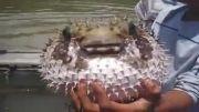چاق ترین ماهی رژیم گرفت و لاغر شد