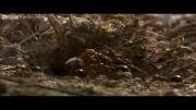 دانلود کلیپ حمله مورچه ها به لانه مورچه های دیگر و غنیمت بردن از آنها