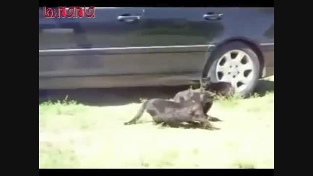میانجی گری در دنیای حیوانات دعوا سگ فیلم گلچین صفاسا