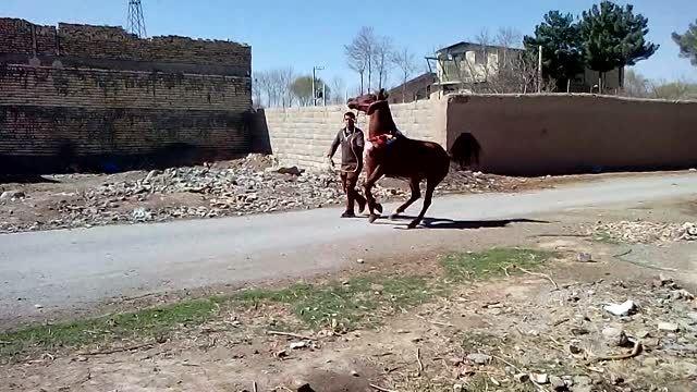 اسب  مادیان   کرد  خالص