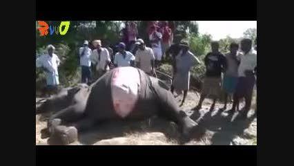 سزارین فیل توسط اهالی روستا