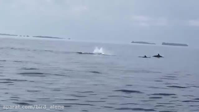 شنای دلفین های جوان در دریای مالدیو