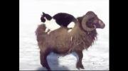 بز سواری گربه!! (همین یه کار رو از گربه ندیده بودیم که اونم . . .)