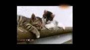 گربه خنده داری که در راه تلاش برای بیدار کردن دوستش، از هوش