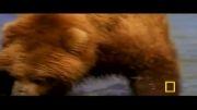 حمله خرس سیاه به چندنفر در جنگل و جنگیدن الكس با خرسه