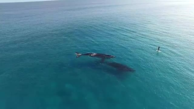 فیلم برداری جالب از بازی یک جفت نهنگ در سواحل استرالیا