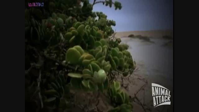 شیوه شکار افعی+فیلم ویدیو کلیپ حمله مار راز بقا خطرناک