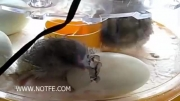 هچ شدن تخم جوجه در دستگاه جوجه کشی خانگی