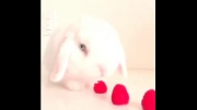غدا خوردن خرگوش ، بامزس